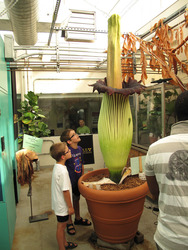 Rare Corpse Flower Nearing Bloom at Gustavus
